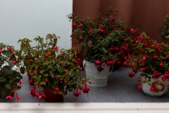 Winning fuchsia (at rear in white container)