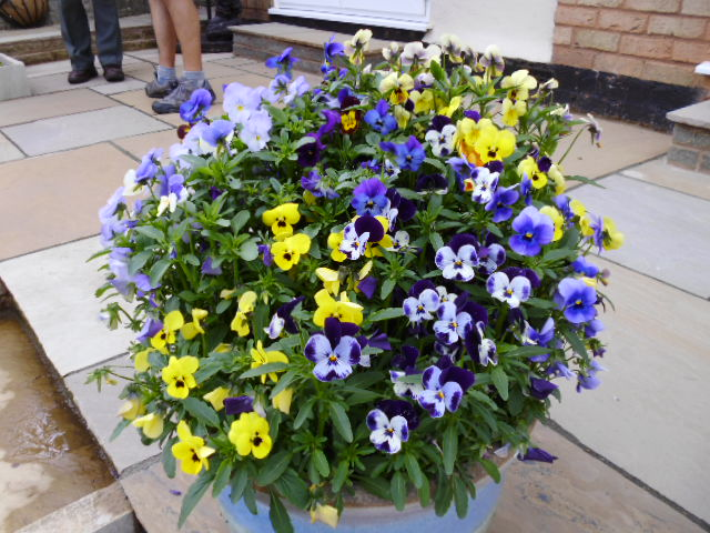 Eileen & Stan's cheerful pot of violas