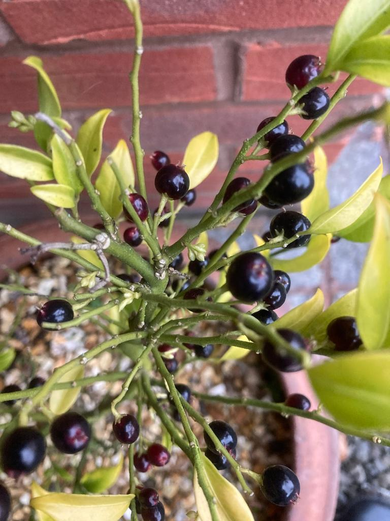 Lesley-3-sarcococca-berries