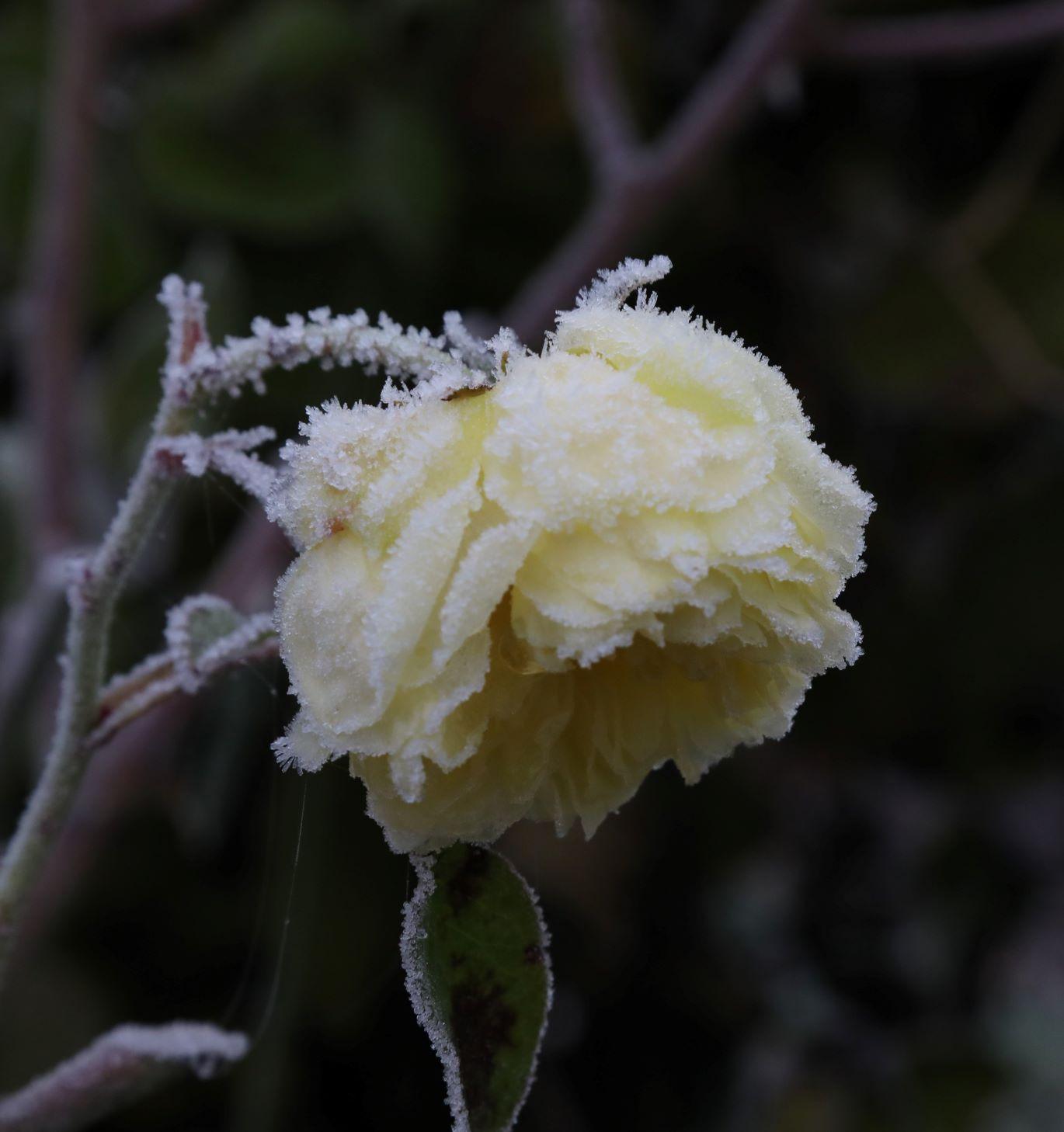 Rosalie-1 frost on rose