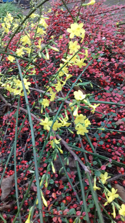 Winter-flowering-jasmine-before-the-snow