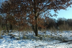 Winter-on-Hednesford-Hills-oak-tree-holding-onto-its-leaves