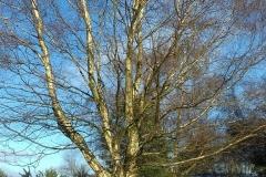 Winter-on-Hednesford-Hills-silver-birch