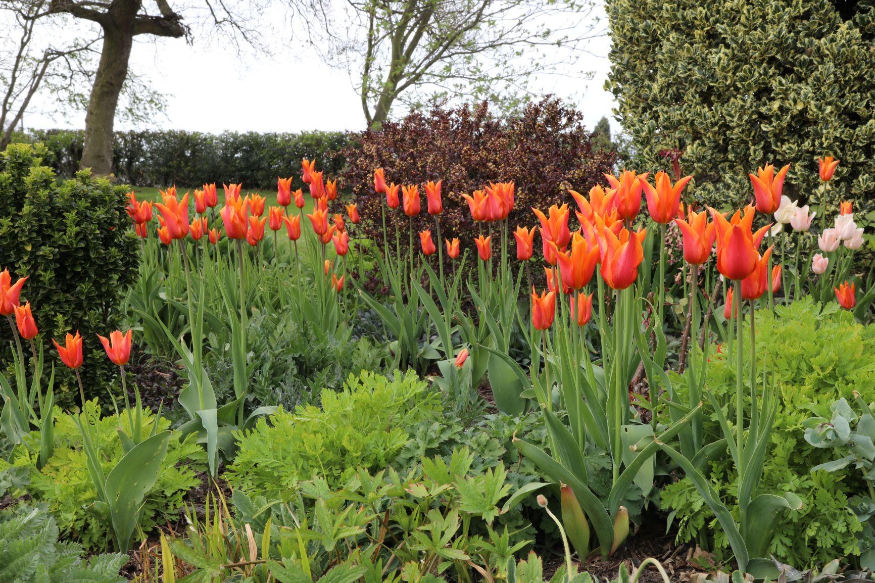 Ballerina-tulips-with-fresh-perennial-growth