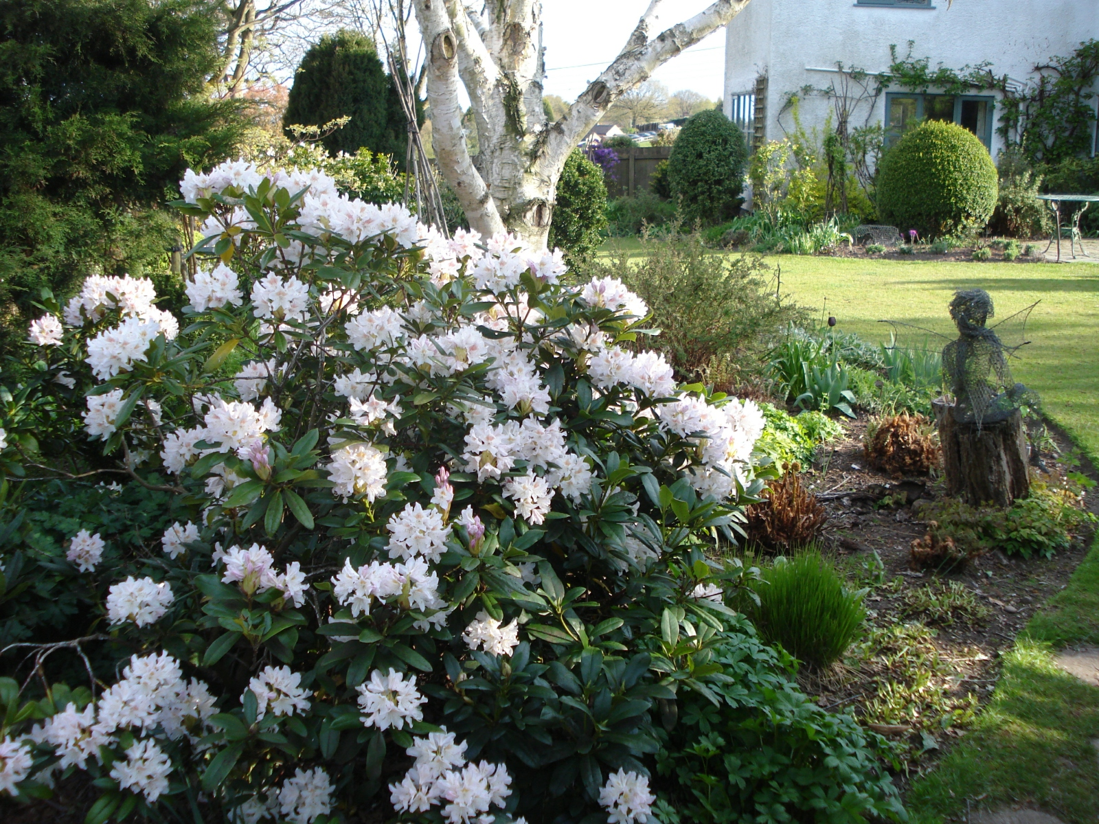 Rhododendron-Cunninghams-White-with-Betula-Jacquemontii
