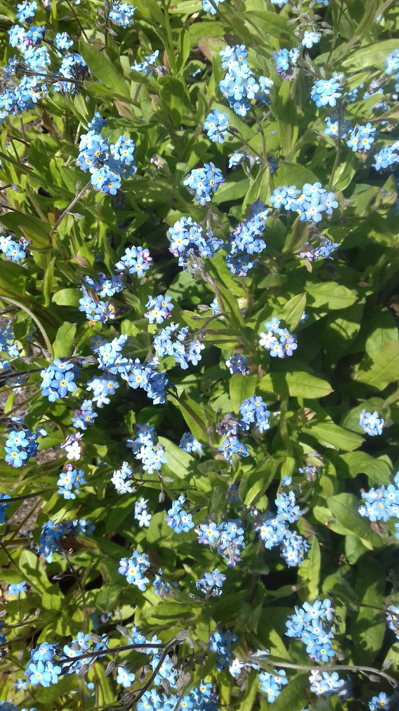 common-old-forget-me-nots