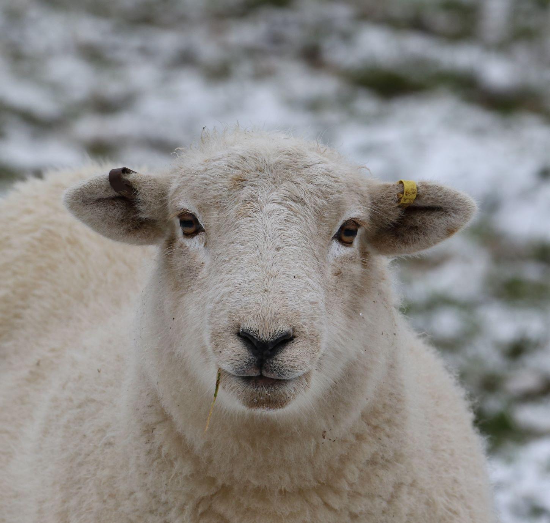 Snowy-sheep-3
