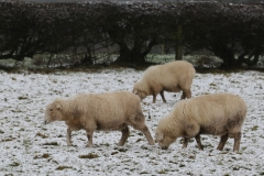 Snowy-sheep-2