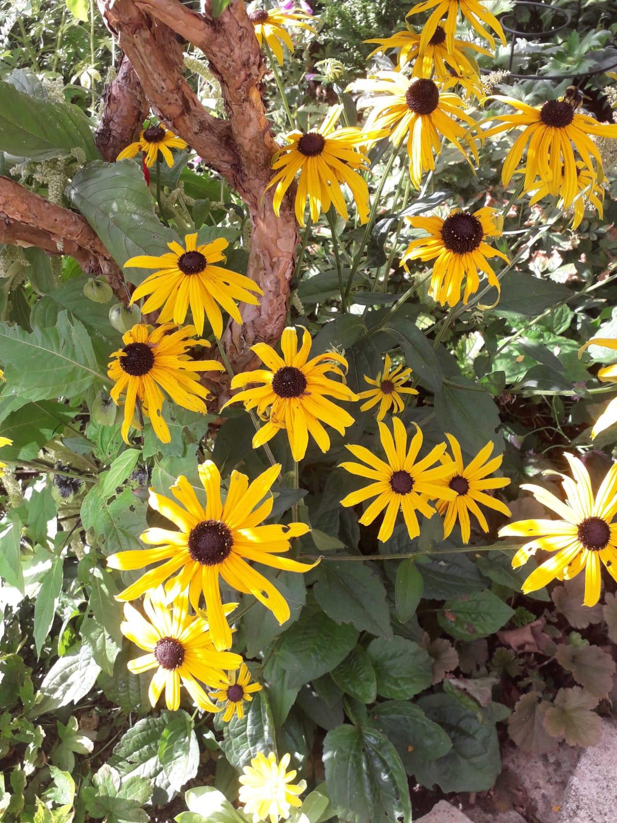 Junes-rudbeckia