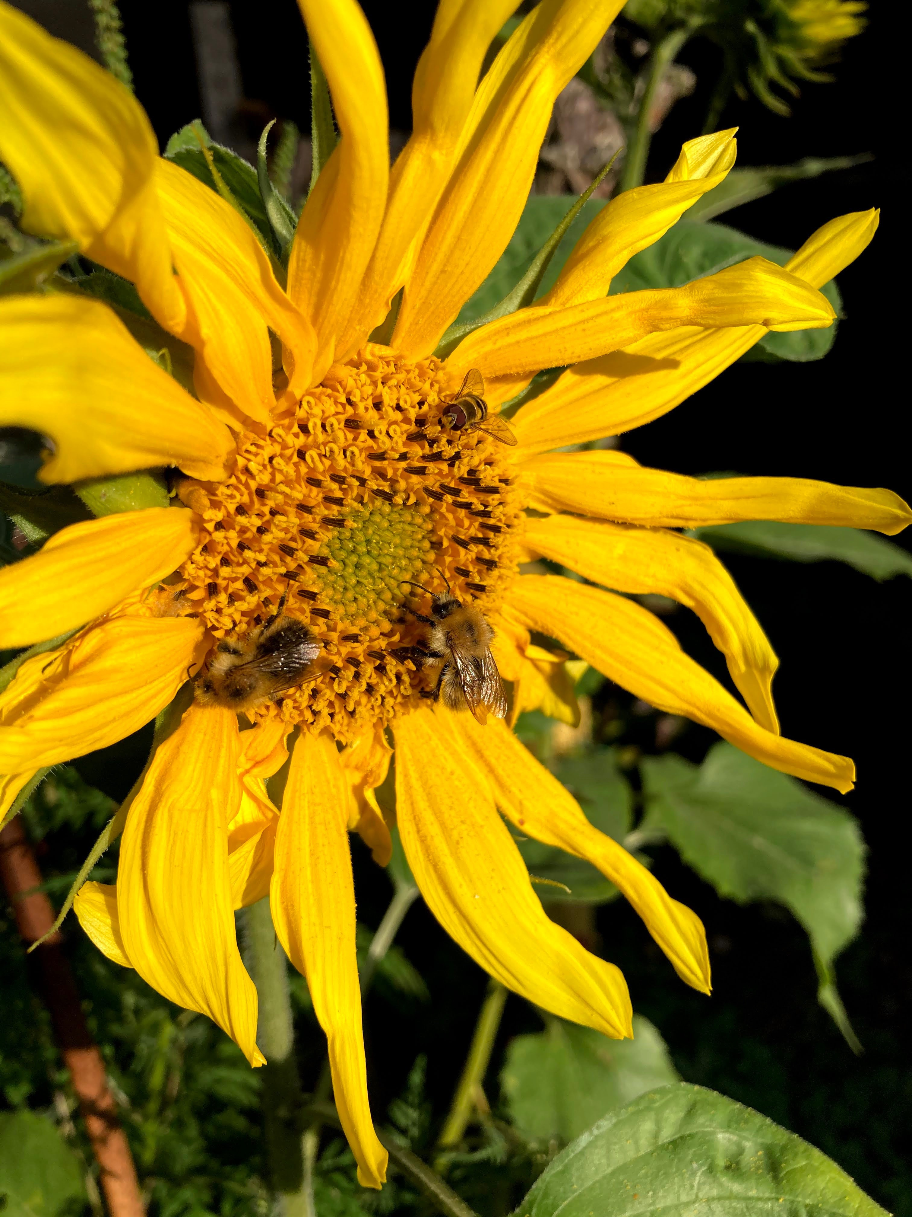 Sophies-hover-flies-and-sunflowers