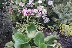 Junes-nerine-hydrangea-behind-bergenia
