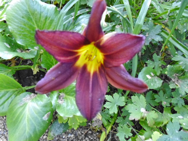 Blurred but beautfiul dark hemeorcallis (Berlin Red?)