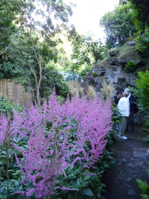 Pink aruncus almost luminous in the fading light