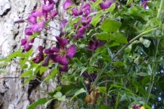 Clematis Etoile Violette, one of many varieties in the garden