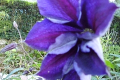 Clematis in the wild garden area